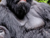 Mountaing Gorillas
