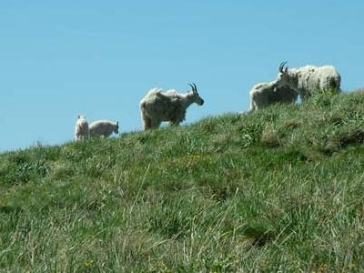 Mountain Goats Tushar Tange