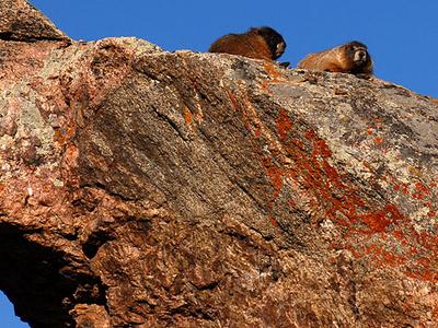 Mt Bierstadt Marmots