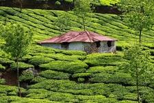 Munnar Green Tea Plantations