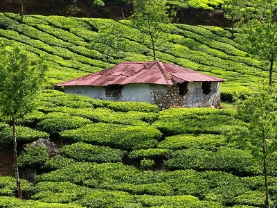 Munnar Green Tea Plantations