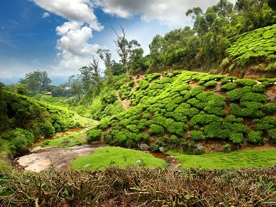 Munnar Tea Estate Landscape