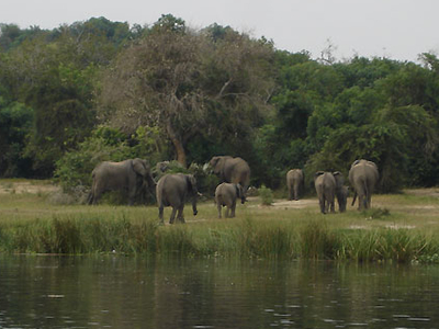 Murchison Falls Elephants