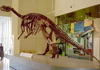 Muttaburrasaurus Skeleton At Queensland Museum