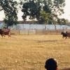 Bull Racing In Sumenep, Madura