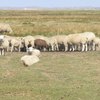 Sheep Grazing On Mandø Island