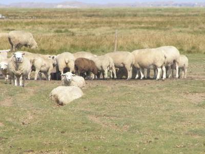 Sheep Grazing On Mandø Island