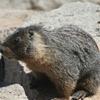 Marmot On The Summit Of Pyramid Peak