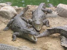 Marsh Crocodiles Basking In The Sun
