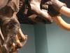 Restored Mastodon Skeleton At Museum Of Florida History