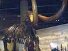 Mastodon Skeleton In Heritage Center