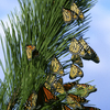 Monarch Butterfly Migration