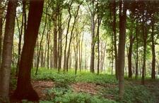 Morton Arboretum Woodland