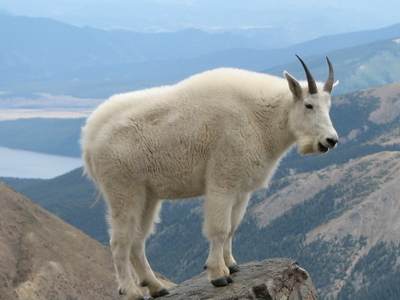 Mountain Goat - Mount Massive