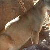 Cougar At Arizona-Sonora Desert Museum
