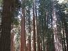 Muir  Grove     Hiker Standing Amidst Giant Sequoias In  Muir  Grove