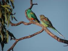 Male And Female Mulga Parrots