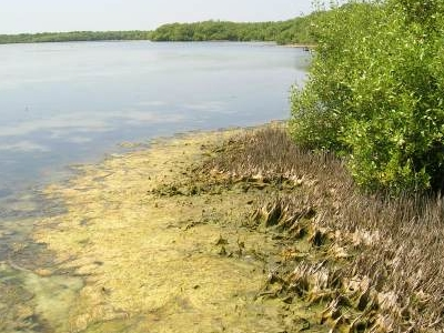 Mangrove Forest  Muthupet