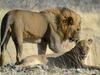 Namibia Etosha Park - Mating Lions