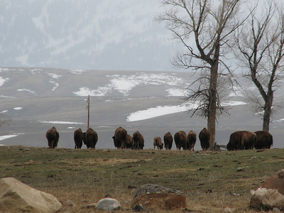 National Elk Refuge During Winter