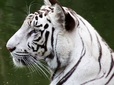White Tiger At Delhi Zoo