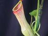 Nepenthes Khasiana