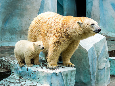 New Born White Bear With Mother - Russia Siberia