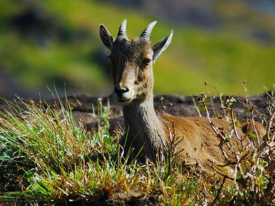 Nilgiri Tahr Spotted In Eravikulam National Park