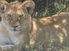 Nitarudi Lioness (Primary)
