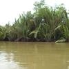 Nypha In Mahakam Delta