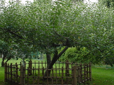 Newton Apple Tree
