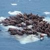 Bering Sea Ice
