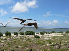 Noddies On Lady Elliot Island
