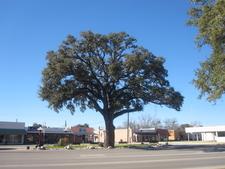 Oak Tree In Pleasanton