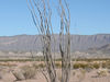 Ocotillo Plant In The Chihuahuan Desert