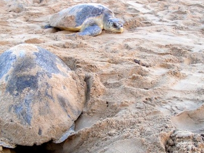 Olive Ridley Gahirmatha Laying Eggs