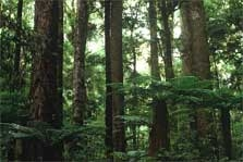 Otanewainuku Forest - North Island - New Zealand
