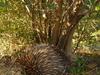 An Echidna Under An Olive Tree