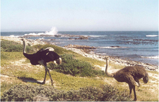 Ostriches At The Cape Of Good Hope