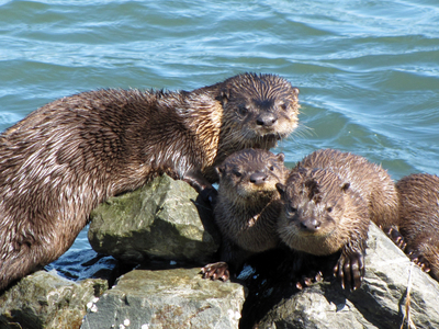Otters On The Riprap At The Richmond Marina In Marina Bay