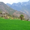 Paddy Cultivation At Tiger Leaping Gorge