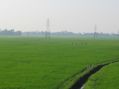 Paddy Fields Of Kuttanad