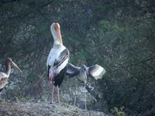 Painted Stork At Bharatpur Bird Sanctuary