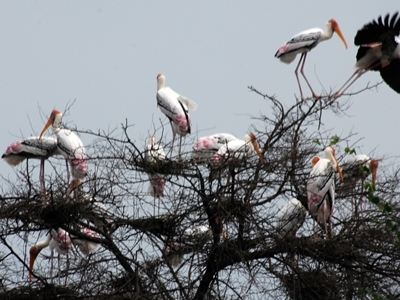 Painted Stork At Keoladeo National Park