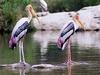Painted Storks At Hesaraghatta Lake
