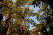 Palm Trees Along Heaphy Track @ Kahurangi National Park NZ