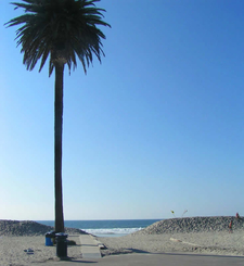 Palm Trees At Moonlight State Beach