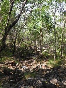 Pandanus Tree In Creek