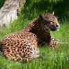 Panther In Gundla Brahmeswaram Wildlife Sanctuary