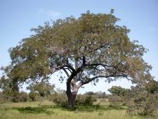 Parkia Biglobosa Burkina